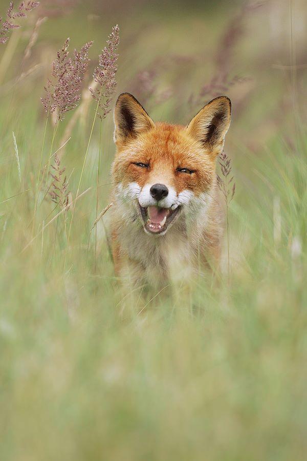 "beautiful-wildlife: "" Happy Fox by Julian Rad - Wildlife Photography """