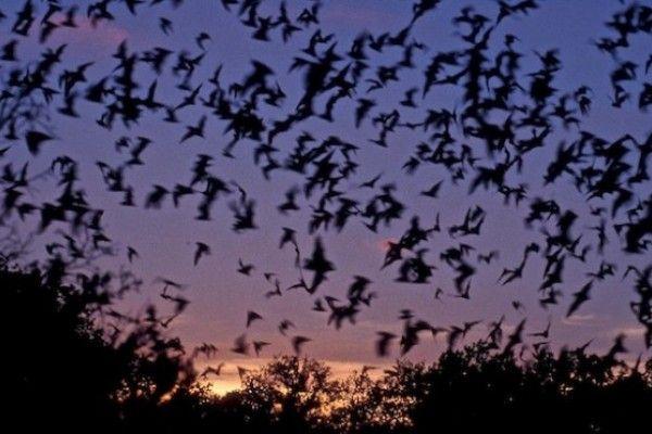 """Revelan nuevos detalles sobre la """"brújula interna"""" de los murciélagos"""