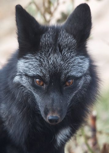 Silver Fox by Dan Newcomb Photography