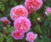 With more than 140 rose species and thousands of different rose varieties for sale, choosing the best roses for your garden can be quite a challenge. Here's help on how to zone in on the best rose type for you.