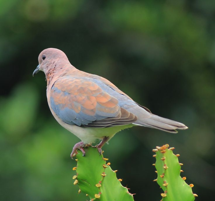 Laughing dove on Euphorbia. Beauty.