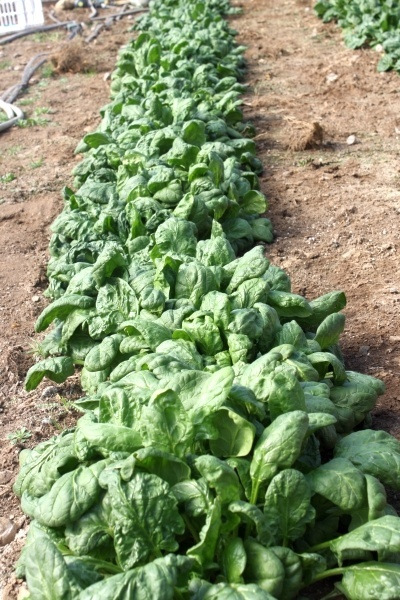 Olympia spinach. Seeded in a high tunnel last October, over wintered and cut today, March 20. Im in northeastern Maine!