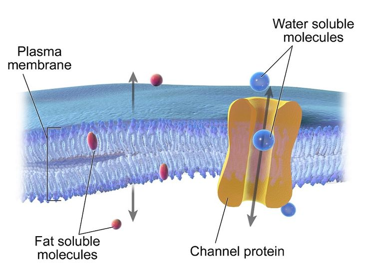 Regular and facilitated diffusion