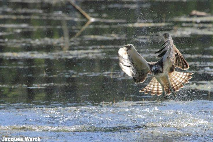 Photographie de Jacques Werck : Balbuzard pêcheur (Pandion halietus). Une conférence d'Alain Balthazard sera consacrée à ce rapace le vendredi 1er avril. #ornithologie #oiseaux #nature