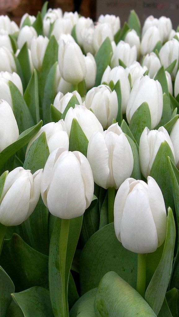 https://flic.kr/p/nNRm1L | tulips_flowers_white_spring_beauty_herbs_24623_640x1136