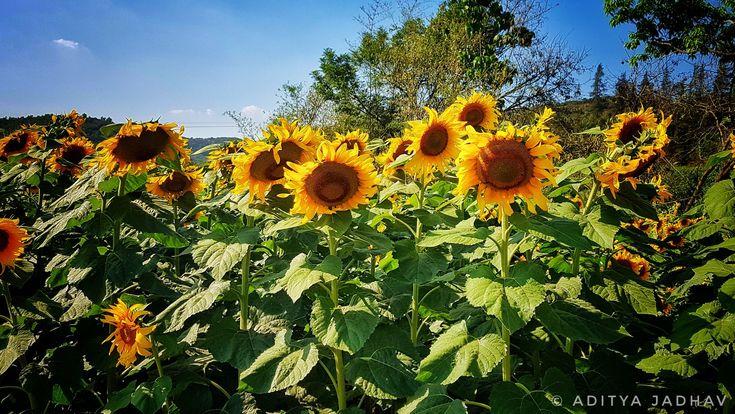 Sunflower Flower landscape yellow