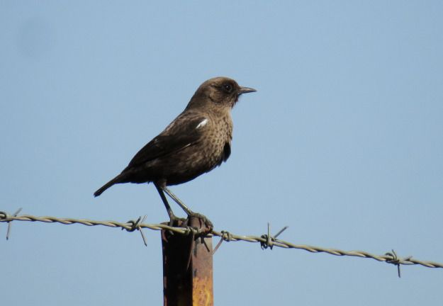 Anteating Chat (male)