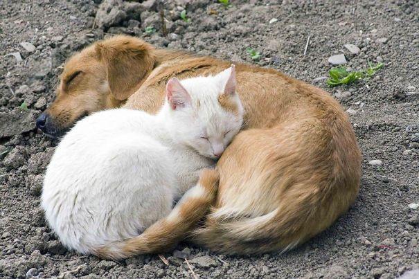 Macskák, akik párnának használják a kutyákat - vicces fotók