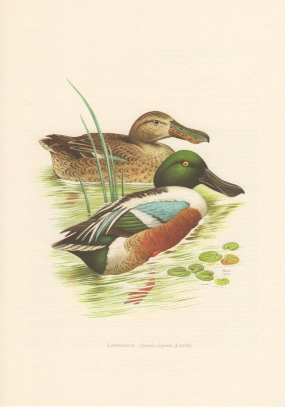 1958 Shoveller Duck Antique Print Vintage by Craftissimo on Etsy, €12.95