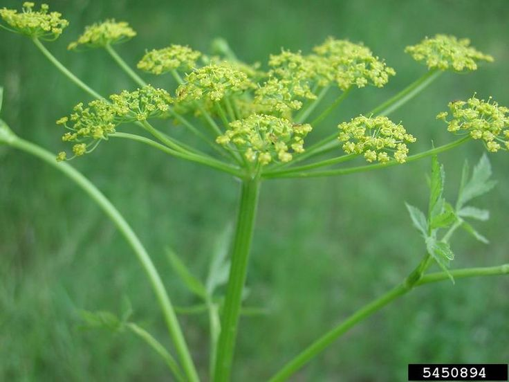 Image 5450894 is of wild parsnip (Pastinaca sativa ) flower(s). It is by Leslie J. Mehrhoff at University of Connecticut.