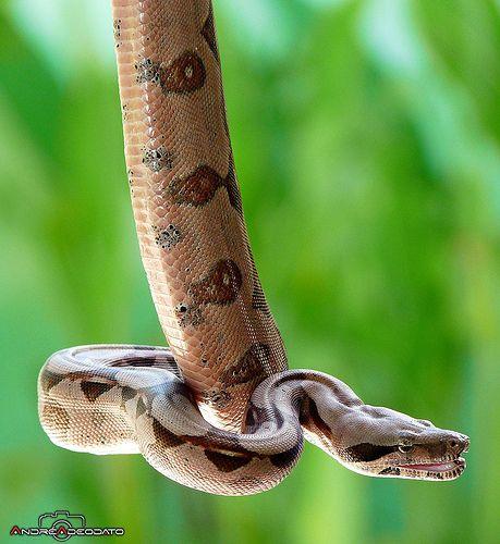 boa constrictor*