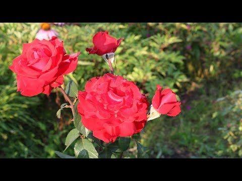 Как укрыть розы на зиму: самый верный способ - YouTube