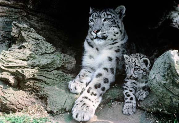(84) Twitter PROTECT ALL WILDLIFE @Protect_Wldlife 3m3 minutes ago  Hundreds of Snow Leopards poached each year! http://www.traffic.org/home/2016/10/21/hundreds-of-snow-leopards-poached-each-year.html/ … @TRAFFIC_WLTrade