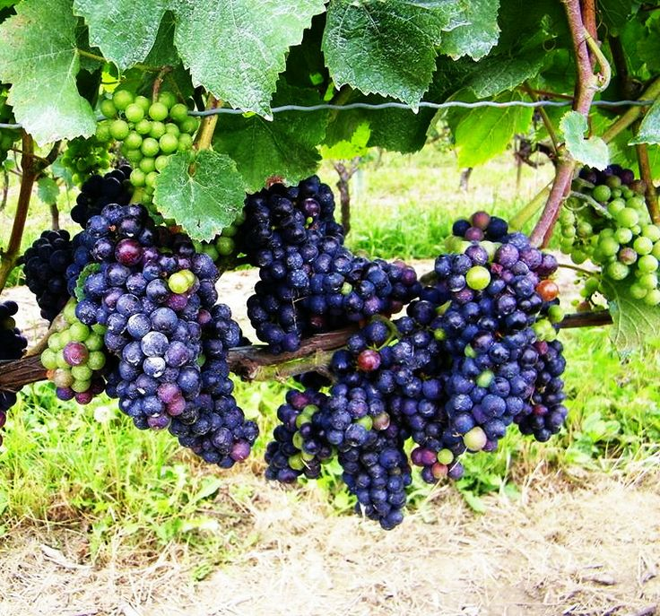 Pic'd VQA #Wine from Pillitteri Estates Winery. Your pictures could end up on our wine!