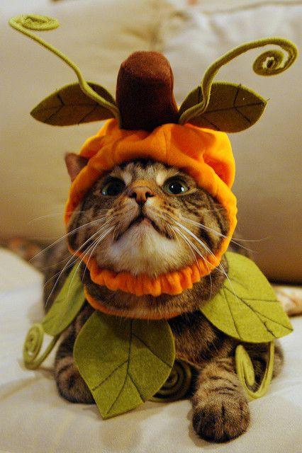 Kitty In A Pumpkin Costume