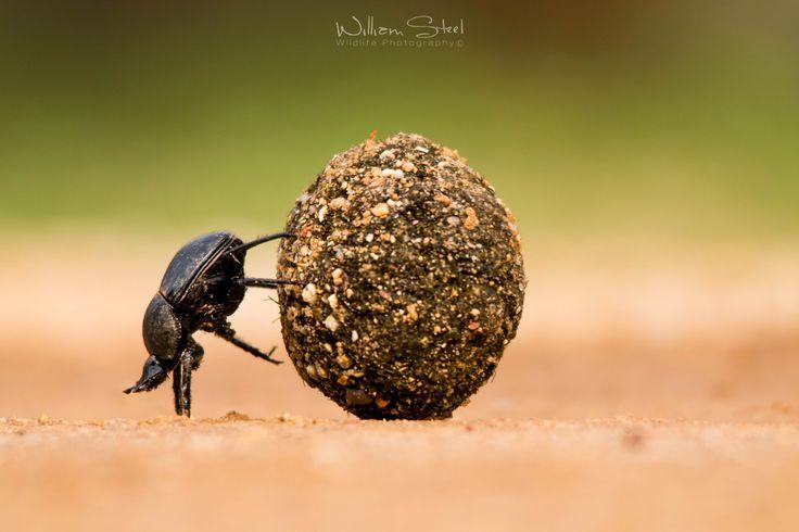 Dung Beetle Derby Joc - Joacă online la Y8.com
