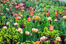 Euphorbia and Tulips