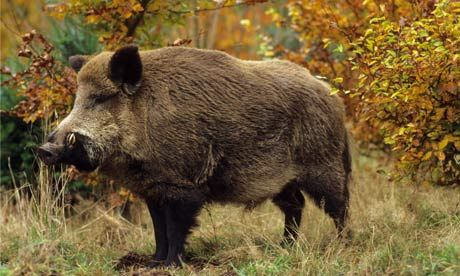 Different Breeds of Wild Hogs | wild-boar-in-autumn-for-008.jpg