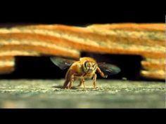 Alas de vida  La polinización es vital para la supervivencia de casi todas las especies de la Tierra, pero es también algo invisible a nuestros ojos.  Louie Schwartzberg en este vídeo nos revela este mundo secreto, con imágenes de alta velocidad, en su película Wings of Life (Alas de vida).  Se inspiró al realizarlas en las amenazas que sufren actualmente las abejas en amplias zonas del globo.  Imágenes para disfrutar, pero también para reflexionar.