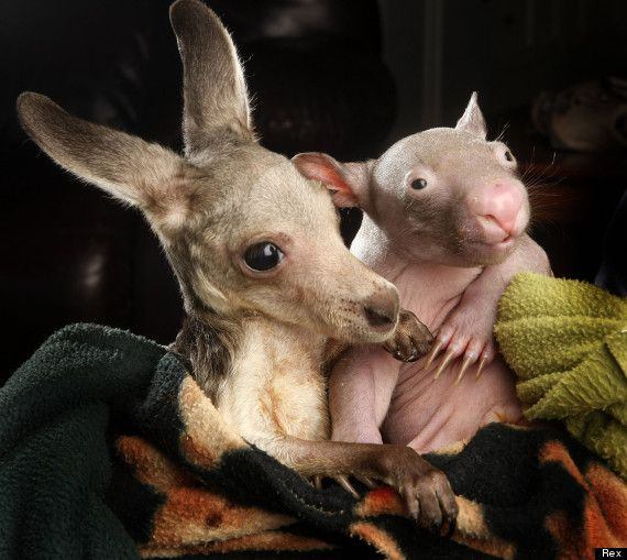"RESCUED BABY KANGAROO + RESCUED BABY WOMBAT = we can't stop staring and blinking and saying ""awww!""."