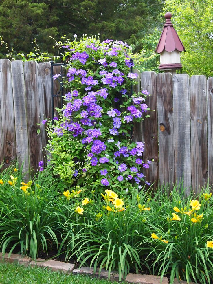 East front fence with Stella D' Oro daylilies and Jackmanii clematis