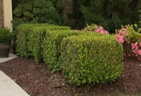 How To Prune Hedges...