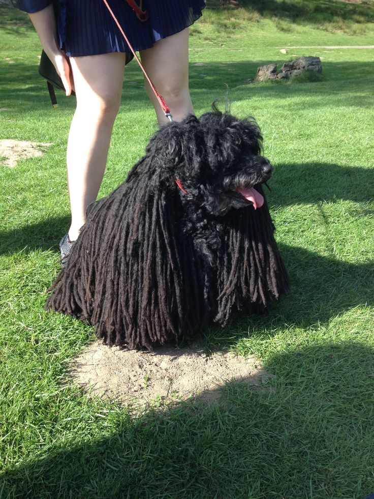 A Most Unusual Breed Of Dog With Dreadlocks For Fur