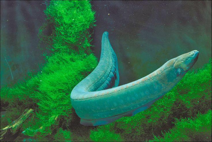 Amazon Rainforest Animals: amazon Electric Eel   Amazon ...