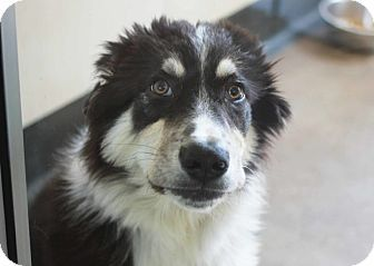 Border Collie Mix Puppy for adoption in Redwood City, California - Bud