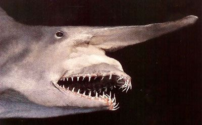 "A goblin shark. Very few people in the world have ever known of an extremely rare species called the goblin shark. But some Japanese discovered the ""living fossil"" alive and even put it on display in an aquarium, media reports said Thursday. Unfortunately, the shark died on the morning of Jan. 27."