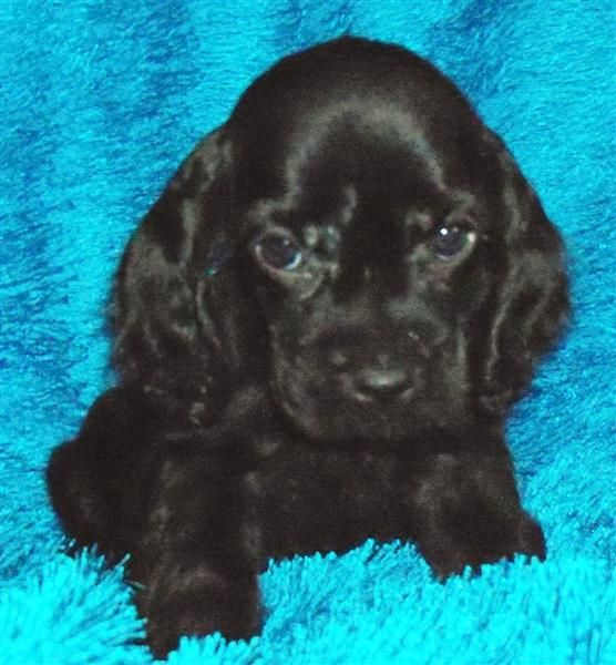Puppies for sale - American Cocker Spaniels, Cockers *** Teacup and Toy Poodles ** Yorkshire Terriers, Yorkies - in Harrisonville, Missouri