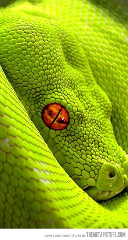 Red eyed green snake.  Go to www.YourTravelVideos.com or just click on photo for home videos  and much more on sites like this.