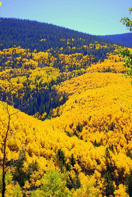The Aspens in the fall amongst a forest of pines. This is on the short drive up to Hyde Park ski area in the Sangre de Cristo Mountains of Santa Fe.