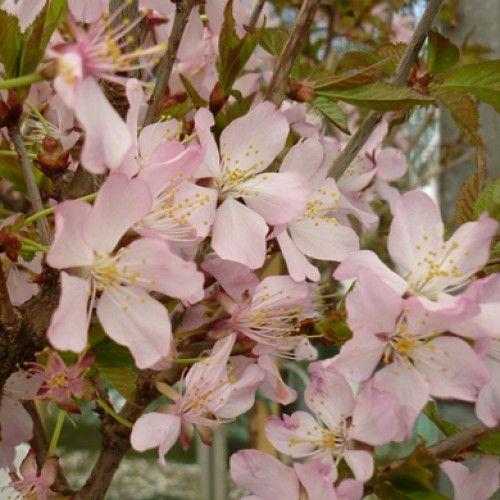 Pot Grown Prunus Nipponica Ruby Dwarf Flowering Japanese Cherry Tree Spd Fife Japanese Cherry Tree Flowering Cherry Tree Japanese Cherry