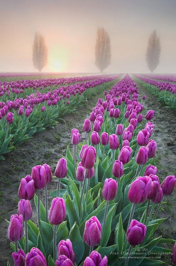 # FLORAL AND FAUNA, FOGGY SUNRISE OVER THE SKAGIT VALLEY TULIP FIELDS, WASHINGTON