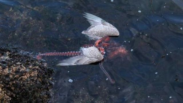 Fascinating photos of an octopus eating a seagull ... - photo#8