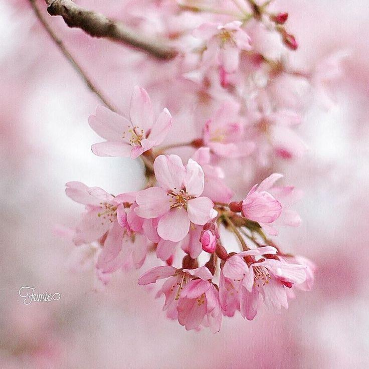 201642  横浜は今日桜が満開との発表が    一番気に入っている 桜の写真をポストします  春爛漫 満喫されていますか  また仕事のヤマ場です 頑張ります     #桜#お花見#庭#花のある暮らし#花のある生活#暮らしを楽しむ#暮らし#日々#お花#花#春#さくら#サクラ#公園#ピンク#満開 #japan#flowers#pink#sakura by kamousa.com.ig