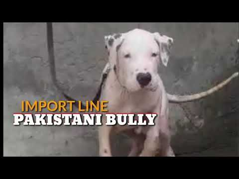 Import Line Pakistani Bully 5months Old Male For Sale Pak Bully Pups Semi Adult And Adults Ready Youtube Dog Business Working Dogs Bully Dog