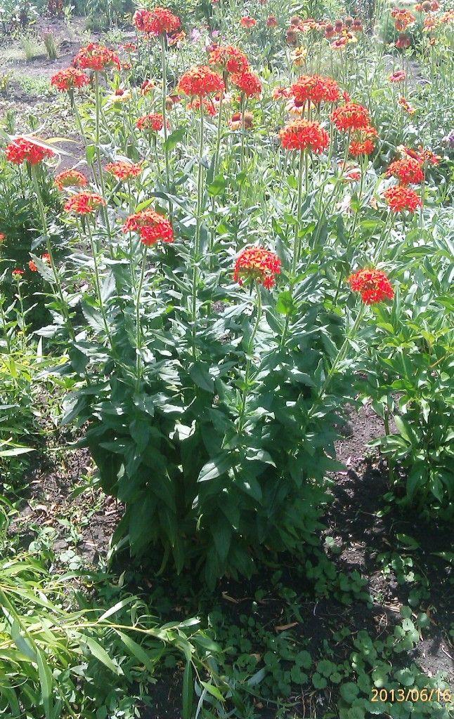 Лихнис Неприхотлив до назойливости - разрастается как сорняк по всему цветнику, может появиться в любом месте, где его и не ждёшь совсем. Не требует полива и подкормки. В общем, цветок, который растёт сам по себе)