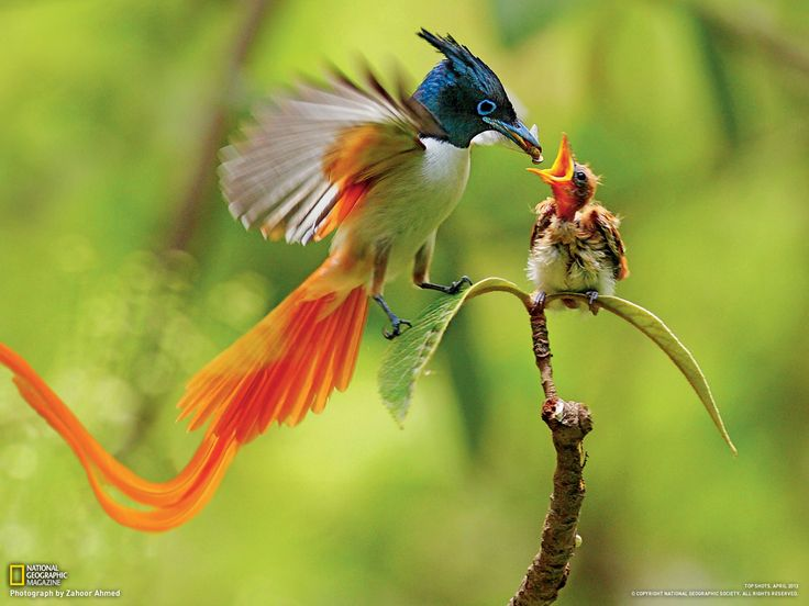 The birds-of-paradise are members of the family Paradisaeidae of the order Passeriformes. The majority of species are found in New Guinea and its satellites, with a few in the Maluku Islands and eastern Australia.