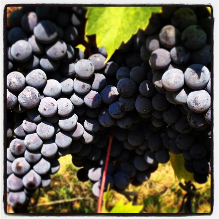 Our #grapes almost ready to #harvest #umbertocesari #vinyard #wine