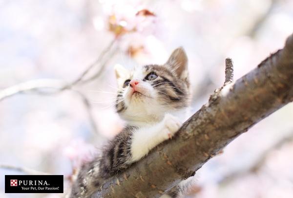 桜きれいだにゃ/猫 ネコ cats  (Nestle PURINA ネスレ日本)sakura
