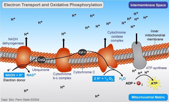 Oxidative phosphorylation: electron transport and ATP synthesis