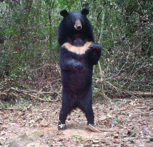 Asian bear black