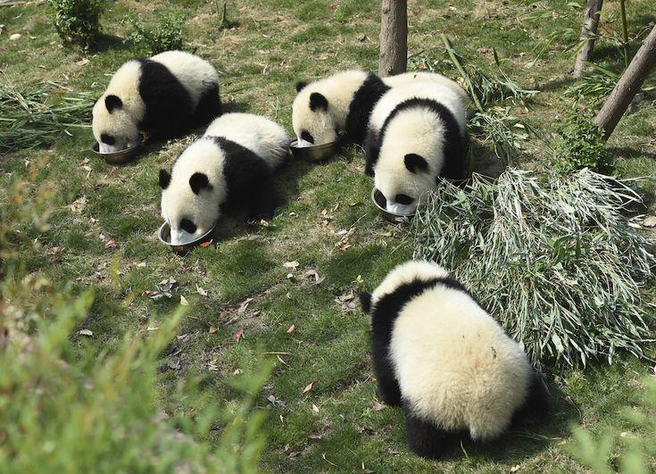 Cinque cuccioli di panda mangiano del porridge al centro di ricerca sui panda di Chengdu, nella provincia cinese sudoccidentale di Sichuan. (Chinatopix via AP)