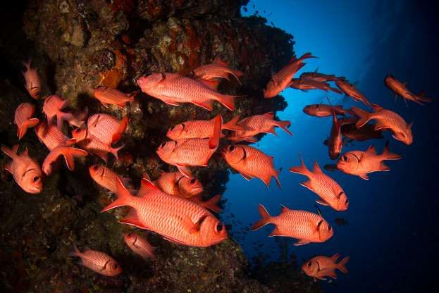 A School Of Soldierfish Shoaling In Coral Reefs Sirachai Arunrugstichai Getty Images Coral Reef Reef Shark Fish Pet