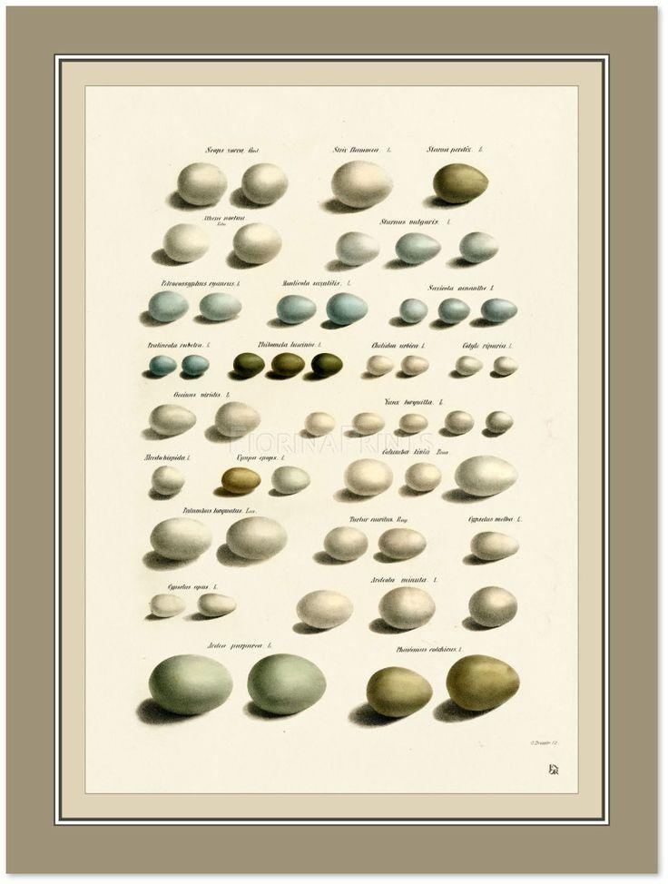 Uova uccelli d'Italia I Stampa giclee nuova. Da una cromolitografia di Dressler in Bettoni. Fa parte di una serie di sette stampe diverse, ognuna venduta singolarmente