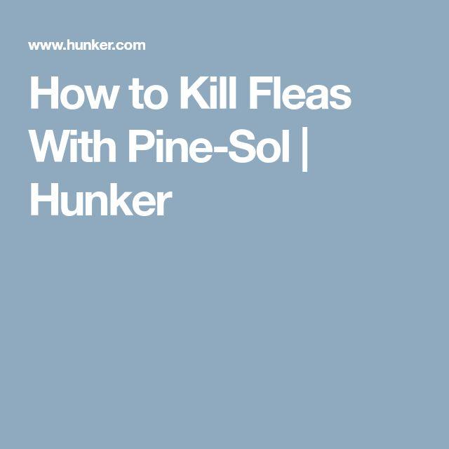 Best 25 Killing Fleas Ideas On Pinterest Home Remedies