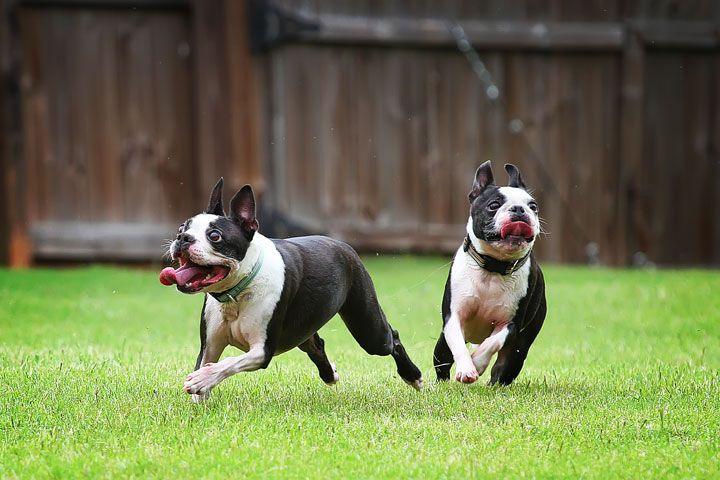 miley and howie boston terrier puppies-01 | Kevin & Amanda