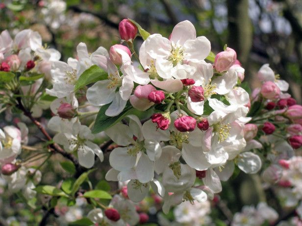 73 best trees images on pinterest flowering trees japanese most ornamental trees for your garden malus evereste crabapple has magnificent blossoms mightylinksfo